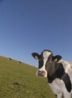 Des vaches prêtes à résister aux pesticides