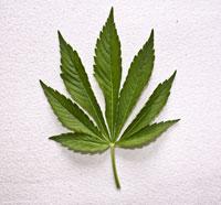 Le cannabis est une drogue